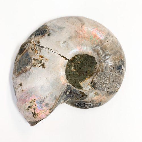 ammonite fossil single iridescent back