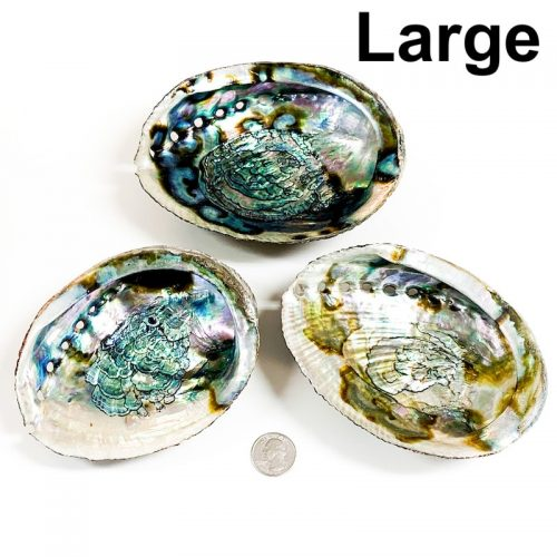 Abalone Shell Large with Quarter